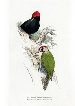 European Birds by Florent Prevost (1864)